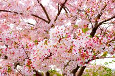 The Cherry Orchard,                                               Cherry blossom tree in bloom