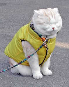 """""""I'm shutting my eyes because this vest is SO not me!"""" -Scottish Fold Cat"""