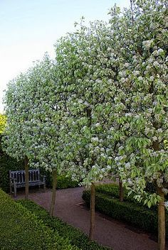 Fascinating Evergreen Pleached Trees for Outdoor Landscaping 46 Garden Hedges, Garden Trees, Pear Trees, Fruit Trees, Trees And Shrubs, Flowering Trees, Formal Gardens, Outdoor Gardens, Snow Pear