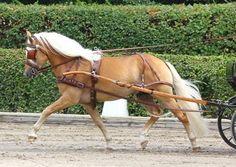 Sammi is a Haflinger horse driving