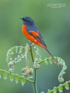 The Grey-chinned Minivet (Pericrocotus solaris) is a species of bird in the Campephagidae family. It is found in Bangladesh, Bhutan, Cambodia, China, India, Indonesia, Laos, Malaysia, Myanmar, Nepal, Taiwan, Thailand, and Vietnam.