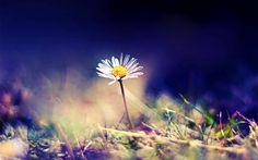 Xem những hình ảnh hoa cúc đẹp nhất thế giới hiện nay