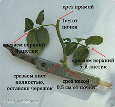 Три способа размножения роз