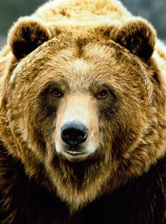 Other common name: Grizzly bear. Sometimes classified as sub-species Ursus arctos horribilis. Katmai National Park, Alaska, U Bear Face Drawing, Grizzly Bear Drawing, Animals And Pets, Cute Animals, Bear Paintings, Bear Pictures, Bear Art, Mundo Animal, Into The Wild