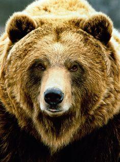 Other common name: Grizzly bear. Sometimes classified as sub-species Ursus arctos horribilis. Katmai National Park, Alaska, U Bear Face Drawing, Grizzly Bear Drawing, Animals Beautiful, Cute Animals, Beautiful Creatures, Bear Paintings, Bear Pictures, Bear Art, Landscape Photography