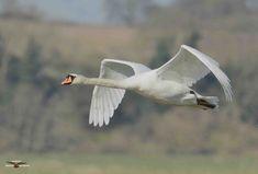 Mute Swan, Birdwatching, Wildlife Photography, Stretching, Location History, Birds, Twitter, Animals, White Swan