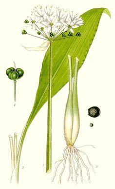 wild garlic (leek) ontario
