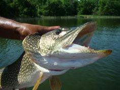 Monster Size Northern Pike  #walleye #pike #fishing #walleye #pike www.wawangresort.com