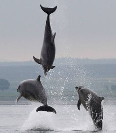 Dolphins performing acrobatics in waters off Scotland