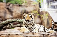 Mike VII relaxing before his next opponent comes to Death Valley.  This is a great image for the LSU fan. Printed on canvas or as a framed print. Perfect for the Man Cave.