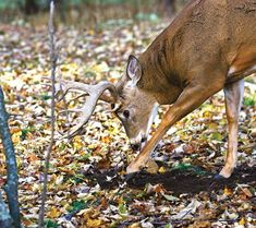 Whitetails: Two Types of Scrapes You Should Be Hunting Now | Field & Stream