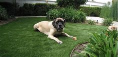 Maybe it's time to replace the grass with pet-friendly artificial turf
