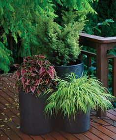 Shade container trio for back deck:  1. Dwarf golden yew   2. 'El Brighto' coleus   3. 'All Gold' Japanese forest grass  The success of this dramatic combination relies on simple color repetition and textural variety among the feathery yew, the bold coleus, and the fine Japanese forest grass.
