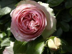 Kalemandra for #RosesOpenWeekend