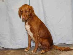 Shame this sweet angel is just a number~A002541 is an adoptable Golden Retriever Dog in Norman, OK.  ...