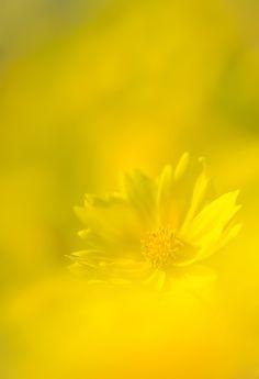 Yellow Flower by naoki nomura - Gelb Yellow Brick Road, Aesthetic Colors, Aesthetic Yellow, Mellow Yellow, Color Yellow, Yellow Submarine, Shades Of Yellow, Lemon Yellow, Happy Colors