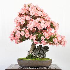 Rhododendron indicum mit Felsen