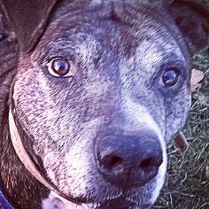 Killian Pitt ospite del Parco Canile Milano #Dog#Cane#Dogs#Cani#Rifugio#Canile#Handsome#Anziano#Fashion#Milano#Pitbull