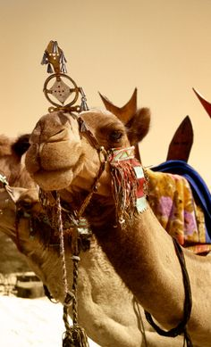 The smile your camel has when he knows you've stepped in his droppings...