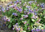 Bienenweide :Pulmonaria officinalis ist das Gefleckte Lungenkraut (Echtes Lungenkraut)