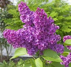 """Lilac """"Charles Joly"""" : one of my favorite spring flowers. Don't you wish the internets were scratch and sniff?"""