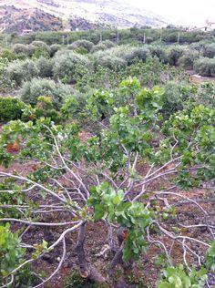 The pistachio farm in Bronte, Sicily