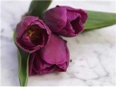 Tulip Prince
