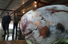 Yangtze Finless Porpoise killing