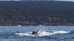 An Australian photographer captured an enterprising seal hitching a ride on the back of a humpback whale in order to get easier access to a fish feast.