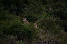 Two Lions. Addo Elephant Park