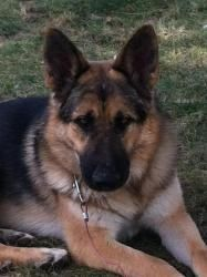 Klaus is an adoptable German Shepherd Dog Dog in Clayton, NC. You can fill out an adoption application online on our official website. If you're interested in adopting any SGSR dog, please fill out an...
