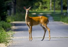 Deer in The Road  (C) Copyright Ricky L.Jones 1995-2012 All rights reserved.