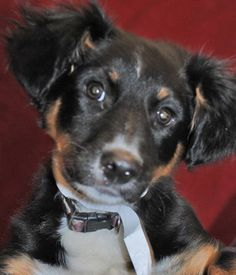 DAUBER- Australian Shepherd (Mix) Franklin County Dog Shelter & Adoption Center Columbus, Ohio - ~RS~  please contact the shelter directly.  Kennel: B25 • ID: 71294 •WARD B (ADOPTION) 3 Months Australian Shepherd (Mix) Adult Size: Medium Weight: 21.7 lbs Male (Neutered) log into our online system to complete and submit an adoption application, or email our Adoption Contact. Franklin County Dog Shelter & Adoption Center Columbus, Ohio  Visit our Friends of the Shelter website for more info