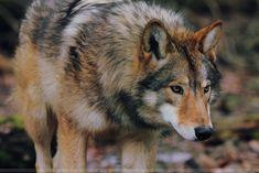 Resultado de imagem para european wolf
