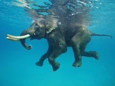 The stunning set of photos show a whole host of sea creatures underwater, but this incredible shot shows an elephant, named Rajan, happily paddling as he swims beneath the surface, although it isn't known where the photo was taken Elephant Love, Elephant Art, African Elephant, Happy Elephant, Elephant Trunk, Nature Animals, Animals And Pets, Giraffes, Cute Kittens
