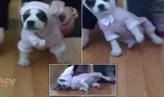 Having a ruff day? Puppy wearing a bunny suit refuses to stand up