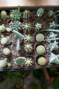 The ZEN Succulent | Succulent Plants