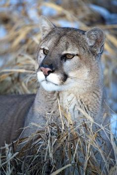 Cougar resting in grass by Hollice Looney : Minnesota, Deer, Catalog, Wildlife, Posters, Fishing Shirts, Art Prints, Bass Fishing, Journalism