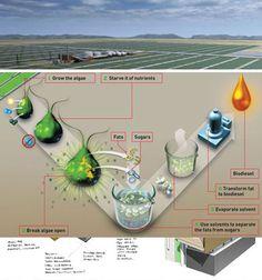 Algae Farm for Biomass Fuel