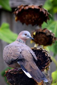 Spotted Dove (Streptopelia chinensis) Southeast Asia