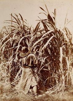 1890's Chaco. Plantación de caña de azúcar