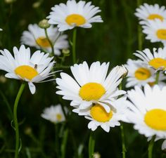 The Daisy, or Bellis Perennis.