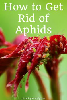 How to Get Rid of Aphids on Plants - Blooming Anomaly Poinsettia, Aphids On Plants, Get Rid Of Aphids, Mealy Bugs, Bees And Wasps, Mini Roses, Humming Bird Feeders, Think, Garden Pests