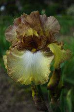 Iris flower in Meise.
