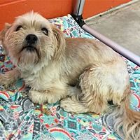 Pittsburgh Pennsylvania Shih Tzu Meet Shelby A For Adoption