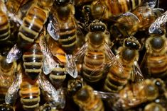 The survival of a colony of bees living in a bee hive depends on the queen bee. Without queen bee the hive will die. The hives queen is the only female bee that has fully developed reproductive organs. Starting A Beehive, Berkeley Springs, Worker Bee, Raising Bees, Bee Pollen, Health Facts, Queen Bees, Bee Keeping, For Your Health