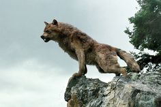 Jacob in Wolf form