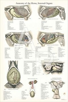 Internal anatomy of the horse. Vintage anatomical illustrations with a little color added.