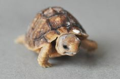 A tiny turtle walking on a counter.