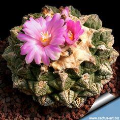 Ariocarpus fissuratus cactus
